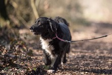 KORI, Hund, Golden Retriever-Border Collie-Mix in Burgdorf - Bild 3