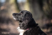 KORI, Hund, Golden Retriever-Border Collie-Mix in Burgdorf - Bild 5