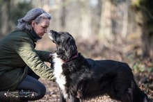 KORI, Hund, Golden Retriever-Border Collie-Mix in Burgdorf - Bild 7