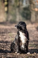 KORI, Hund, Golden Retriever-Border Collie-Mix in Burgdorf - Bild 8