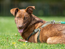BORIS, Hund, Labrador-Mix in Kroatien - Bild 7