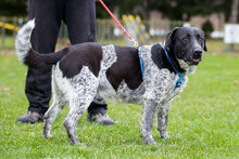 ORION, Hund, Pointer-Mix in Kroatien - Bild 9