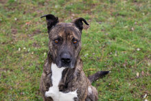 TEX, Hund, Staffordshire Bull Terrier-Mix in Kroatien - Bild 1