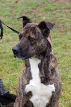 TEX, Hund, Staffordshire Bull Terrier-Mix in Kroatien - Bild 6