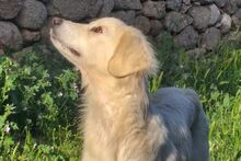 LADY, Hund, Maremmano-Mix in Italien - Bild 4