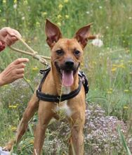 ABBOT, Hund, Podenco-Mix in Spanien - Bild 1