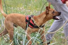 ABBOT, Hund, Podenco-Mix in Spanien - Bild 5