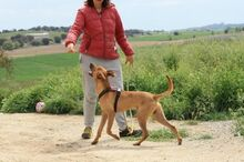 ABBOT, Hund, Podenco-Mix in Spanien - Bild 6