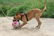 ABBOT, Hund, Podenco-Mix in Spanien - Bild 7