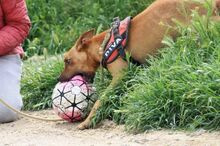 ABBOT, Hund, Podenco-Mix in Spanien - Bild 8