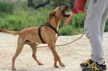 ABBOT, Hund, Podenco-Mix in Spanien - Bild 9