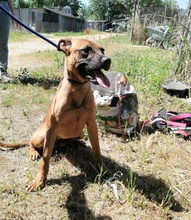 TEXAS, Hund, Malinois in Italien - Bild 2