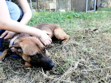 TEXAS, Hund, Malinois in Italien - Bild 6