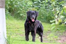 DOLLY, Hund, Cocker Spaniel-Mix in Wetter - Bild 10