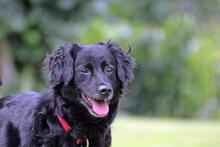 DOLLY, Hund, Cocker Spaniel-Mix in Wetter - Bild 5
