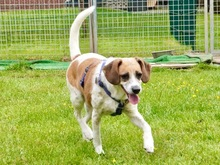 RAKITIC, Hund, Beagle-Mix in Nordkirchen - Bild 5