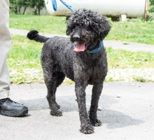 LISA, Hund, Puli-Mix in Ungarn - Bild 1