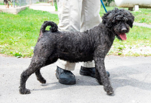 LISA, Hund, Puli-Mix in Ungarn - Bild 2