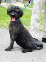 LISA, Hund, Puli-Mix in Ungarn - Bild 4