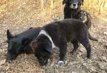 PAULINA, Hund, Terrier-Border Collie-Mix in Kroatien - Bild 13