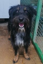 PAULINA, Hund, Terrier-Border Collie-Mix in Kroatien - Bild 2