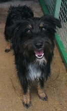 PAULINA, Hund, Terrier-Border Collie-Mix in Kroatien - Bild 5