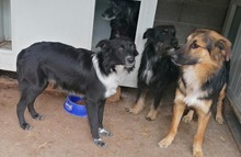 PAULINA, Hund, Terrier-Border Collie-Mix in Kroatien - Bild 7