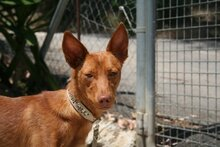 GORRION, Hund, Podenco Andaluz in Spanien - Bild 1