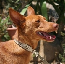 GORRION, Hund, Podenco Andaluz in Spanien - Bild 2