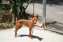 GORRION, Hund, Podenco Andaluz in Spanien - Bild 4