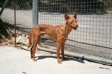GORRION, Hund, Podenco Andaluz in Spanien - Bild 6