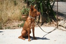GORRION, Hund, Podenco Andaluz in Spanien - Bild 7