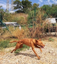 GORRION, Hund, Podenco Andaluz in Spanien - Bild 8