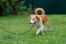 KONJAK, Hund, Collie-Mix in Lauf - Bild 8