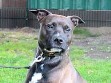 PETER, Hund, American Staffordshire Terrier-Pitbull Terrier-Mix in Hamburg - Bild 1