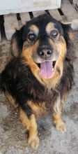 BOBO, Hund, Golden Retriever-Berner Sennenhund-Mix in Kroatien - Bild 5