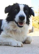 TAKES, Hund, Border Collie in Spanien - Bild 1