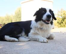 TAKES, Hund, Border Collie in Spanien - Bild 2