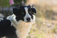 TAKES, Hund, Border Collie in Spanien - Bild 3