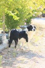 TAKES, Hund, Border Collie in Spanien - Bild 4