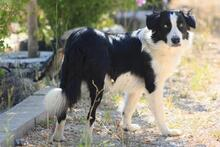 TAKES, Hund, Border Collie in Spanien - Bild 5