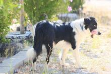 TAKES, Hund, Border Collie in Spanien - Bild 6