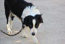 TAKES, Hund, Border Collie in Spanien - Bild 7