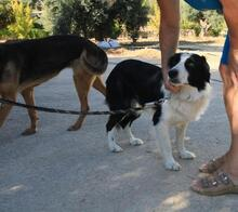 TAKES, Hund, Border Collie in Spanien - Bild 9