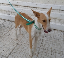 DIANA, Hund, Podenco-Mix in Spanien - Bild 1