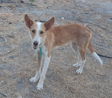 DIANA, Hund, Podenco-Mix in Spanien - Bild 2