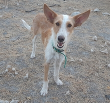 DIANA, Hund, Podenco-Mix in Spanien - Bild 3