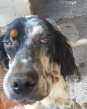GEORGE, Hund, English Setter in Italien - Bild 2