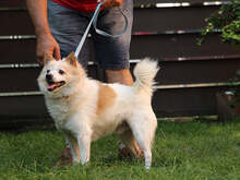PATRIK, Hund, Spitz-Mix in Slowakische Republik - Bild 3