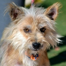PINO, Hund, Cairn Terrier-Mix in Schwanstetten - Bild 1